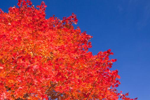Japanese Maple「Japanese Maple, Autumn, Low Angle View」:スマホ壁紙(16)