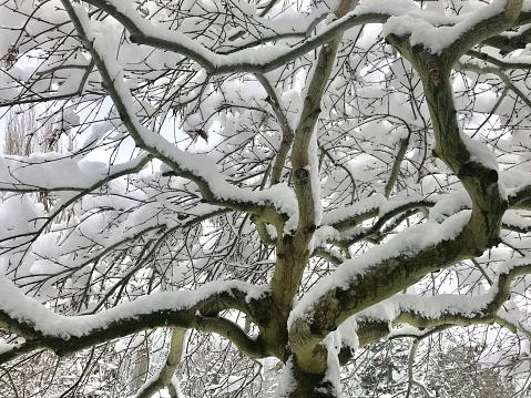 Japanese Maple「Japanese Maple tree under snow」:スマホ壁紙(17)