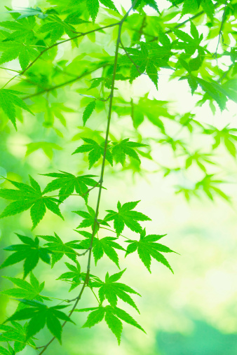 Japanese Maple「Japanese maple」:スマホ壁紙(11)
