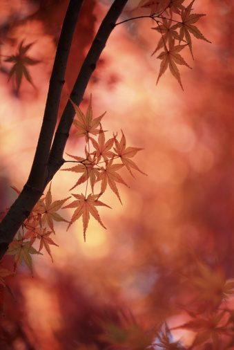 Japanese Maple「Japanese Maple」:スマホ壁紙(2)
