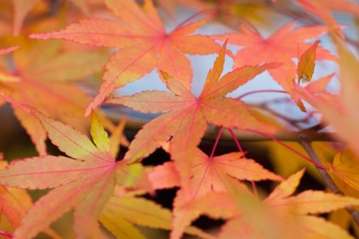 Japanese Maple「Japanese Maple (Acer Palmatum)」:スマホ壁紙(15)