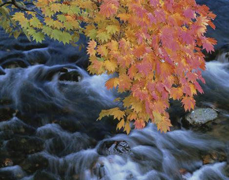 Japanese Maple「Japanese maple over river, Oirase, Aomori Prefecture, Japan」:スマホ壁紙(17)