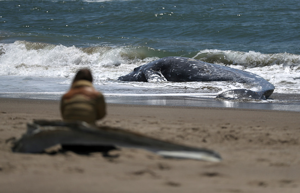 Whale「Another Dead Whale Washes Ashore In The San Francisco Bay Area」:写真・画像(16)[壁紙.com]