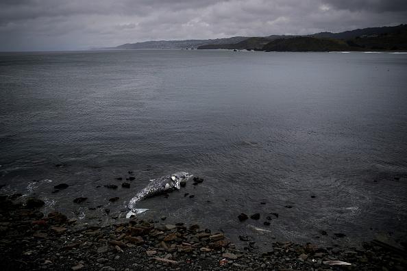 North America「Dead Whale Found On Bay Area Beach In California, 10th Since March」:写真・画像(14)[壁紙.com]