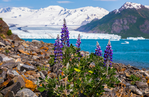 flower「Lupine (lupinus nootkatensis) grows on a rocky beach in Kenai Fjords National Park with Bear Glacier in the background」:スマホ壁紙(13)