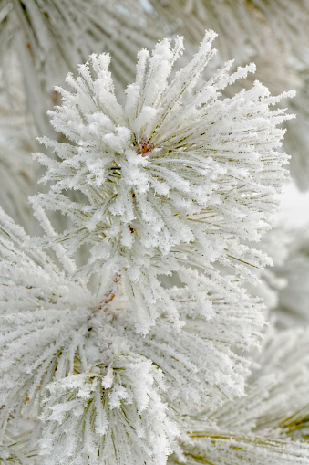 小枝「Pine (Pinus) bough with heavy frost crystals, Kalispell, Montana, USA」:スマホ壁紙(9)