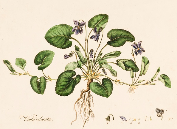 静物「Viola Odorata」:写真・画像(5)[壁紙.com]