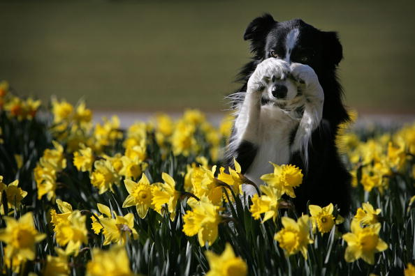 春「Crufts Prepare For The Start Of Annual Competition」:写真・画像(11)[壁紙.com]