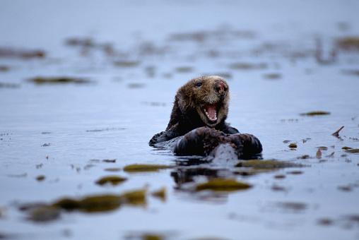 Monterey Bay「Laughing Sea Otter in Kelp Bed」:スマホ壁紙(6)