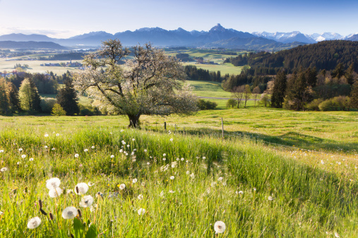 Apple Tree「Blooming apple tree in a  meadow, Bavaria, Germany」:スマホ壁紙(7)