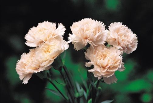 カーネーション「Pink carnation flowers」:スマホ壁紙(15)