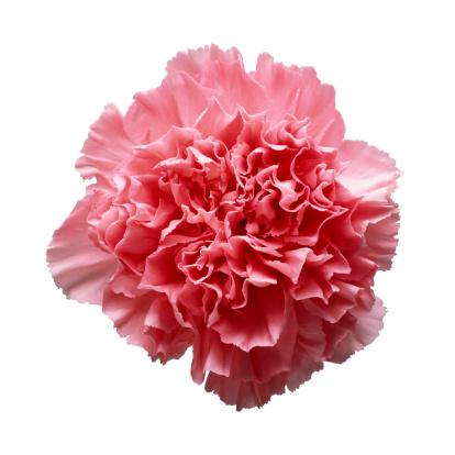 カーネーション「Pink Carnation Close-up」:スマホ壁紙(6)