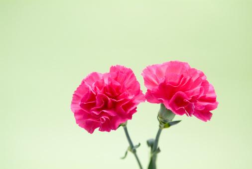カーネーション「Pink carnations」:スマホ壁紙(8)