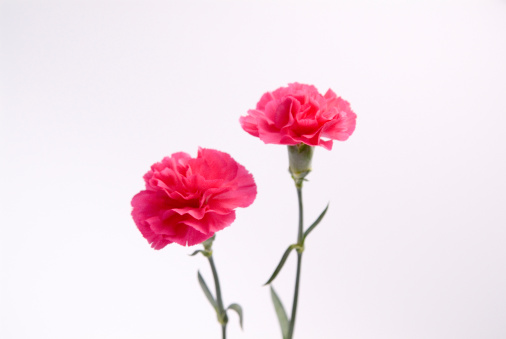 カーネーション「Pink carnations」:スマホ壁紙(13)