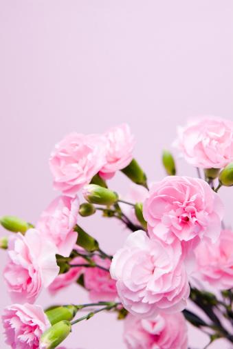 カーネーション「Pink carnations」:スマホ壁紙(15)
