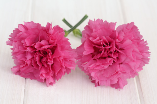 カーネーション「Pink carnations illustrate beauty and togetherness」:スマホ壁紙(8)