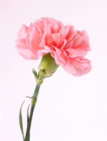 カーネーション「Pink carnation, white background.」:スマホ壁紙(9)