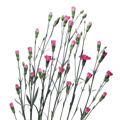 カーネーション「Pink Carnations」:スマホ壁紙(7)