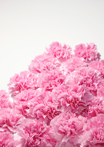 カーネーション「Pink Carnations」:スマホ壁紙(10)