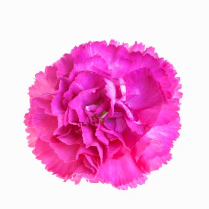 カーネーション「A pink carnation (back lit)」:スマホ壁紙(19)