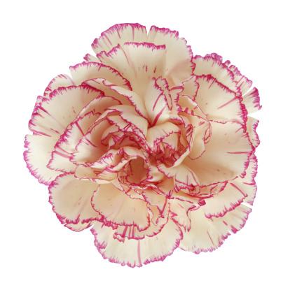 カーネーション「Pink carnation」:スマホ壁紙(11)