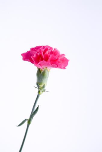 花「Pink carnation」:スマホ壁紙(0)