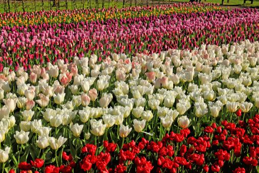 Keukenhof Gardens「tulip blossom, Keukenhof Gardens, Netherland」:スマホ壁紙(12)