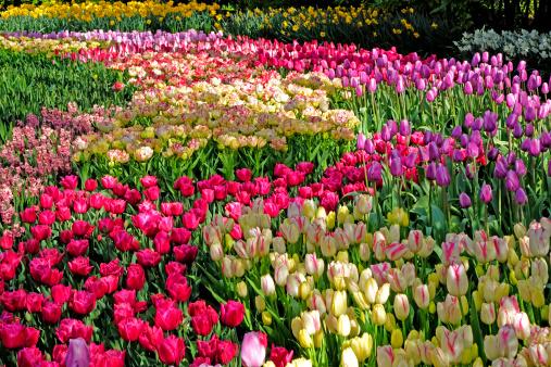 Keukenhof Gardens「tulip blossom, Keukenhof Gardens, Netherland」:スマホ壁紙(14)
