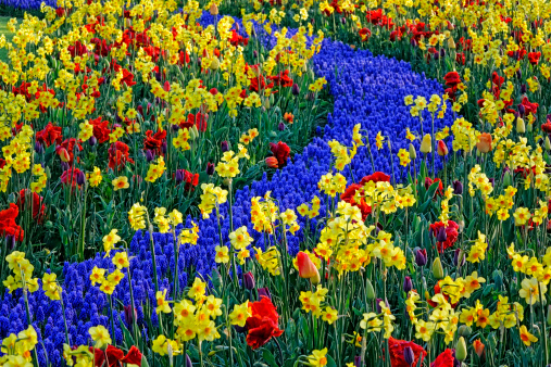 Keukenhof Gardens「tulip blossom, Keukenhof Gardens, Netherland」:スマホ壁紙(6)