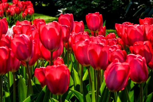 Keukenhof Gardens「tulip blossom, Keukenhof Gardens, Netherland」:スマホ壁紙(1)