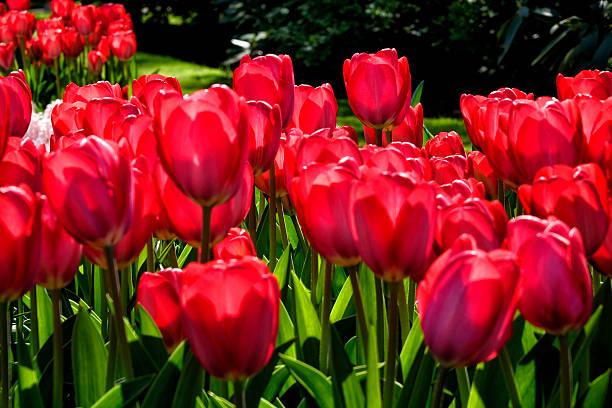 tulip blossom, Keukenhof Gardens, Netherland:スマホ壁紙(壁紙.com)