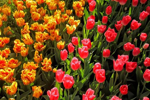 Keukenhof Gardens「tulip blossom, Keukenhof Gardens, Netherland」:スマホ壁紙(0)