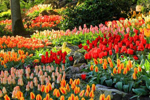 Keukenhof Gardens「tulip blossom, Keukenhof Gardens, Netherland」:スマホ壁紙(11)