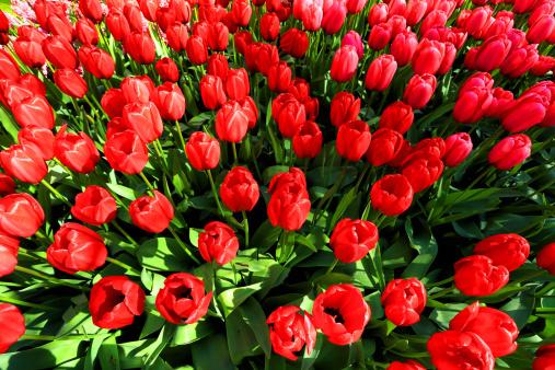 Keukenhof Gardens「tulip blossom, Keukenhof Gardens, Netherland」:スマホ壁紙(4)