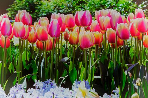 Keukenhof Gardens「tulip blossom, Keukenhof Gardens, Netherland」:スマホ壁紙(15)
