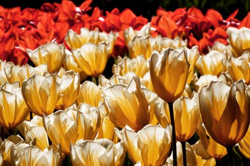 キューケンホフ公園「tulip blossom, Keukenhof Gardens, Netherland」:スマホ壁紙(4)