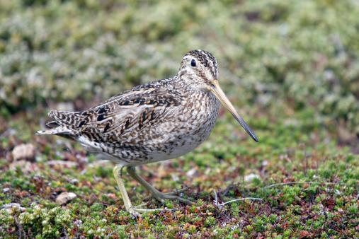 Falkland Islands「Magellan Snipe」:スマホ壁紙(7)