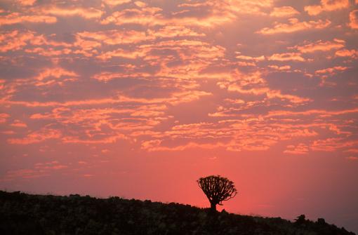 African Aloe「Sunset Silhouette a of Quiver Tree (Aloe dichotoma)」:スマホ壁紙(18)
