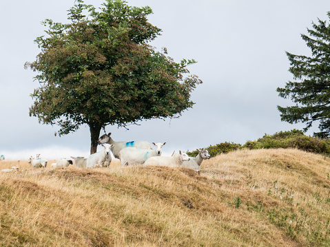 Hawthorn「Sheep sheltering under Hawthorn tree on top of the dyke; image taken on Offa's Dyke National Trail in Wales, UK between  Kington and Knighton  in Powys, UK. August」:スマホ壁紙(13)