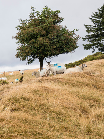 Hawthorn「Sheep sheltering under Hawthorn tree on top of the dyke;image taken on Offa's Dyke National Trail in Wales, UK between  Kington and Knighton  in Powys, UK. August」:スマホ壁紙(14)