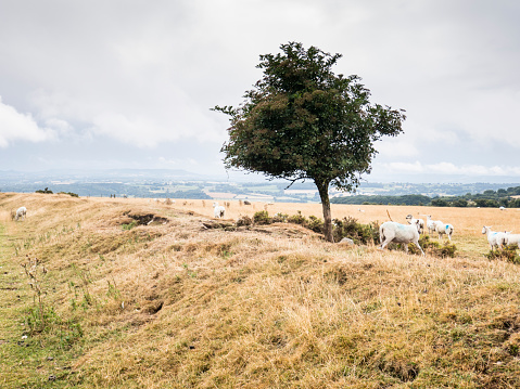 Hawthorn「Sheep sheltering under Hawthorn tree on top of the dyke;image taken on Offa's Dyke National Trail in Wales, UK between  Kington and Knighton  in Powys, UK. August」:スマホ壁紙(8)