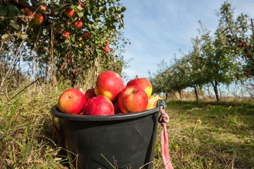 ローヤルガラ「赤いリンゴのバケット」:スマホ壁紙(18)