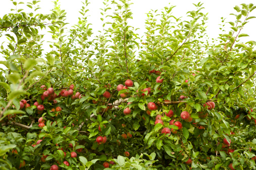 Homegrown Produce「Red apples on the tree」:スマホ壁紙(8)