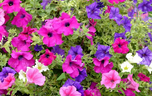 ペチュニア「Petunia の花」:スマホ壁紙(13)
