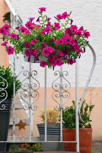 ペチュニア「Petunia flowers」:スマホ壁紙(17)
