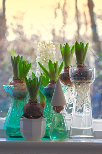 Hyacinth「Hyacinth bulbs」:スマホ壁紙(8)