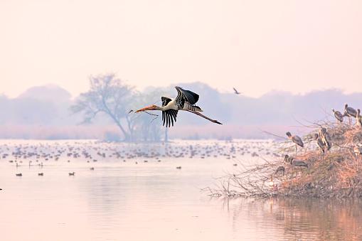 Rajasthan「Painted Stork in flight」:スマホ壁紙(6)