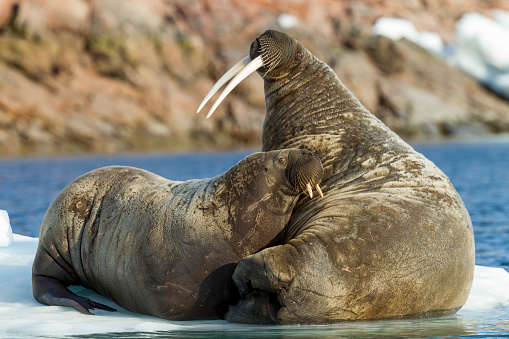 Pack Ice「Walrus and Calf in Hudson Bay, Nunavut, Canada」:スマホ壁紙(17)