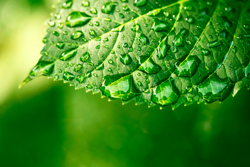 Green Background「Water drops on leaf in sunshine」:スマホ壁紙(0)