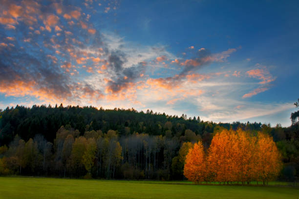 Stand of autumn Birch trees:スマホ壁紙(壁紙.com)